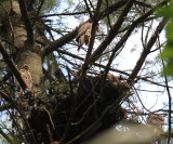 3 young Northern Goshawks (around nest) - Accipiter gentilis