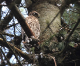 young Northern Goshawk - Accipiter gentilis