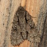 9229 - Speared Dagger Moth - Acronicta hasta