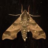 7885 - Virginia Creeper Sphinx - Darapsa myron
