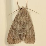 9199 - Ruddy Dagger Moth - Acronicta rubricoma
