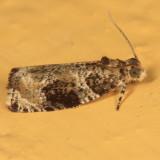 2821 - Serviceberry Leafroller - Olethreutes appendiceum
