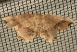 6834 - Dark Scallop Moth - Cepphis decoloraria