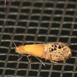 0228 - Riding's Fairy Moth - Adela ridingsella