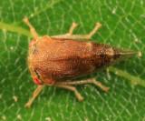 Cyrtolobus ovatus