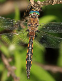 Beaverpond Baskettail - Epitheca canis