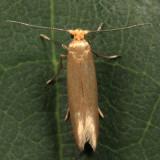 0426 – Tineola bisselliella