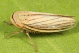 Athysanus argentarius
