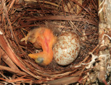 Red-eyed Vireo - Vireo olivaceus (with a Brown-headed Cowbird egg)