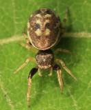 Hammerjawed Jumper - Zygoballus rufipes (female)
