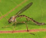 Leptogaster flavipes