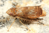 Latalus sayii