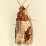 2827 - Hydrangea Leaf Tier - Olethreutes ferriferana
