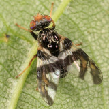Procecidochares atra (male)