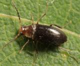 Symphora flavicollis