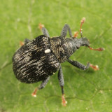 Piazorhinus scutellaris