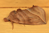 8536 - Canadian Owlet - Calyptra canadensis