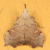 8401 - White-spotted Redectis - Redectis vitrea