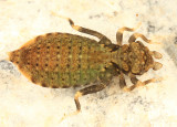 Eastern Least Clubtail - Stylogomphus albistylus