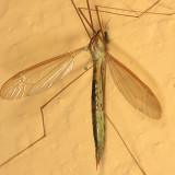 Nephrotoma tenuis