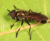 Platycheirus granditarsis