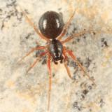 Ceratinops crenatus