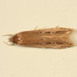 1515 - Shy Cosmet - Limnaecia phragmitella