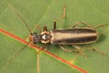 Podabrus modestus