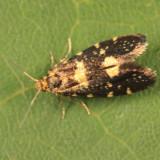 0180.1 - Lampronia corticella