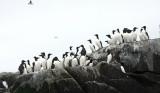 Common Murre - Uria aalge