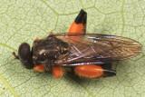 Chalcosyrphus curvaria