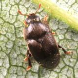 Short-winged Flower Beetles - Kateretidae