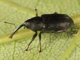 Dirabius rectirostris
