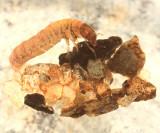 Glossosoma sp.
