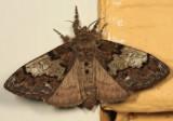 8296 - Yellow-based Tussock Moth - Dasychira basiflava