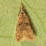 2288 - Dichomeris punctipennella