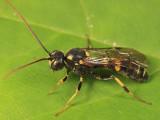 Exenterus sp.
