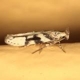 1792 - Coleotechnites atrupictella