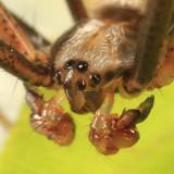Argiope aurantia (male)