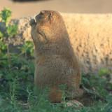 Black-tailed Prairie Dog - Cynomys ludovicianus (Tuscon Desert Museum)