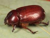 Oxygrylius ruginasus