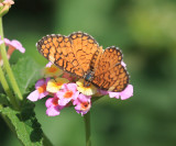 Tiny Checkerspot - Dymasia dymas