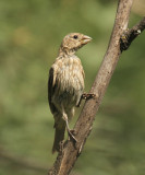 House Finch - Carpodacus mexicanus  (female)