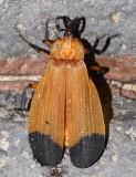 Lycus arizonensis