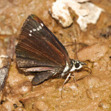 Common Sootywing - Pholisora catullus