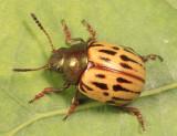 Leptinotarsa lineolata