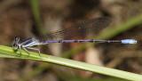 Lavender Dancer - Argia hinei