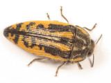 Acmaeodera amplicollis