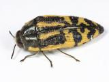 Metallic Wood-boring Beetles - Genus Acmaeodera