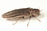 Willow Gall Limb Borer - Agrilus politus
